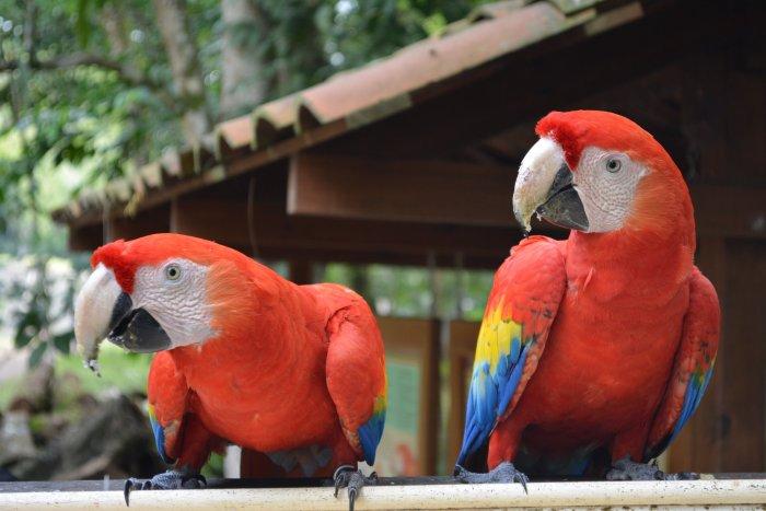 CoverMore_Lisa_Owen_Honduras_Copan_Macaws.jpg