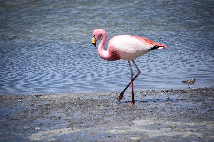 CoverMore_Lisa_Owen_Bolivia_Uyuni_Flamingo