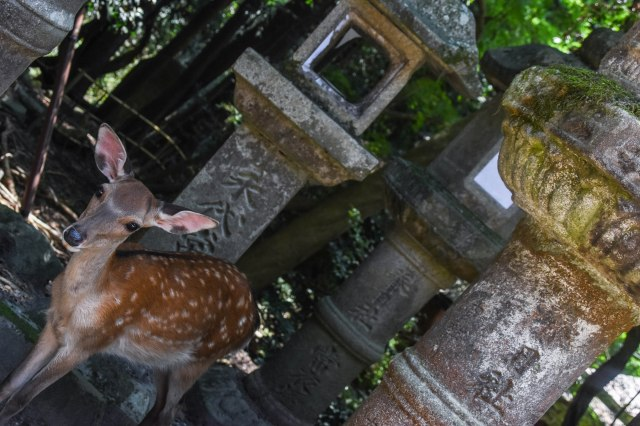 CoverMore_Lisa_Owen_Japan_Nara_Deer Temple