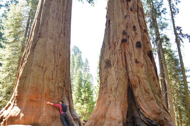 CoverMore_USA_California_Sequoia_GiantTrees